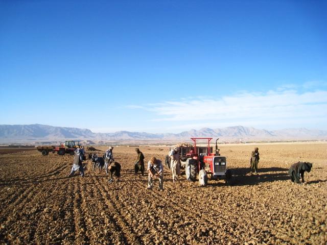 Opschaling van saffraanproductie in Uruzgan
